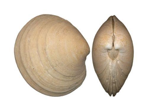 Ruditapes Philippinarum