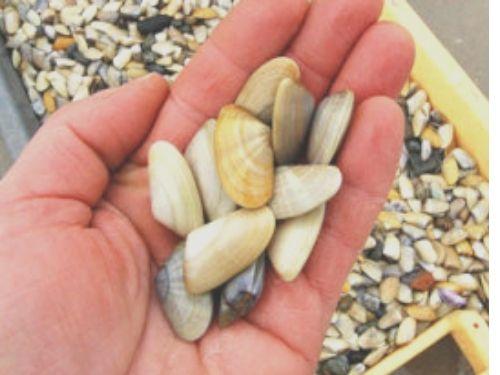 Mano che raccoglie una manciata di telline da una cesta, presenta sulla sfondo, piena di questi molluschi